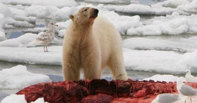 Post image for Court Upholds Bush Determination on Polar Bear
