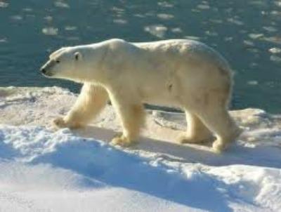 Post image for Update on Polar Bear Biologist Investigation