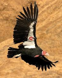 Post image for No Fine If Wind Farm Kills Endangered Condors &#8212; Fish and Wildlife Service