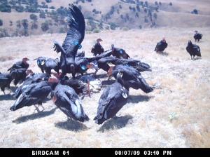 Condors 2